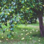 A photo of an apple tree